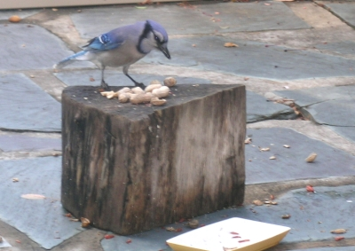 bluejay18may.jpg