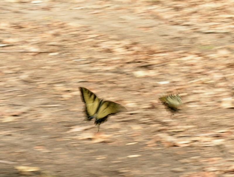 borboletasbailando800.jpg