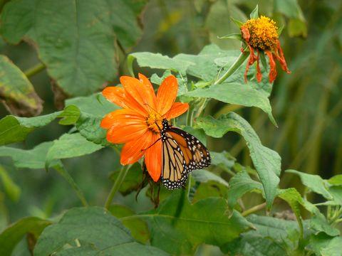 butterfly_orangeflower_leugardens_480.jpg