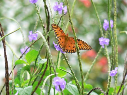 butterfly_smallorangeblackperpleflower_leugardens_480.jpg