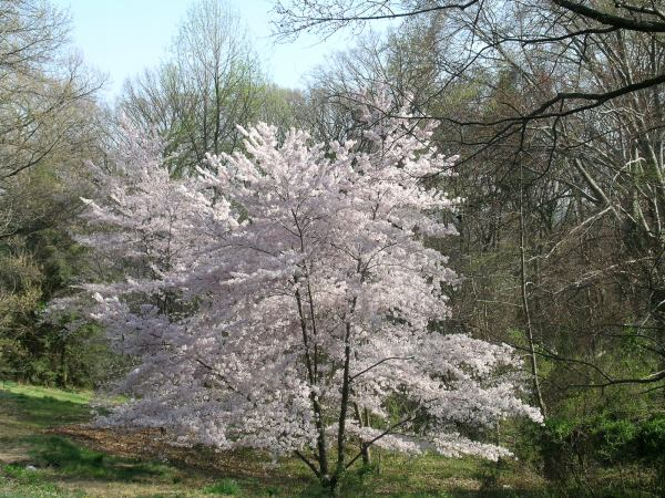 cerejeiraarboritum.jpg