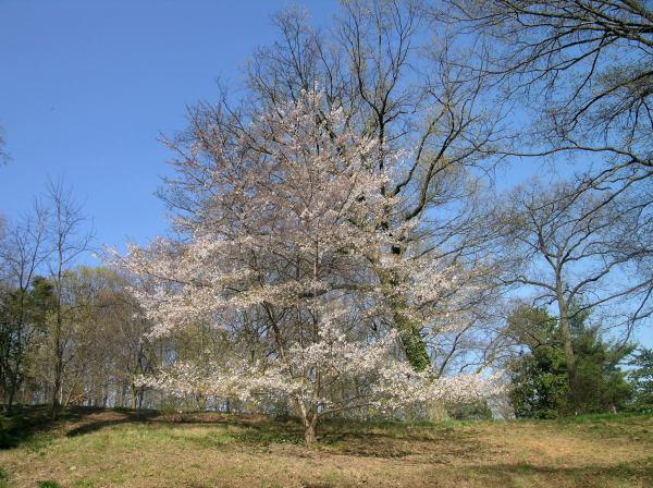 cerejeiraarboritum2.jpg