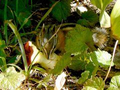 chipmunk_eatingapple_iceberglake_glacierpark_240.jpg