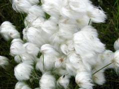 cotton_flowersre.jpg