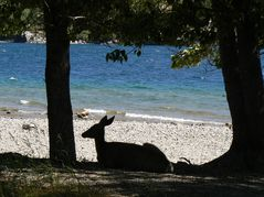 deer_waterton_240.jpg