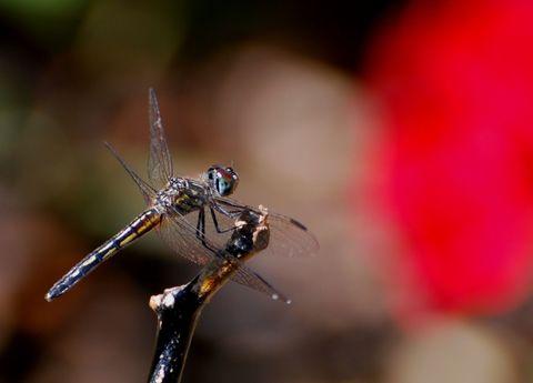 dragonfly_5_lilialima.jpg