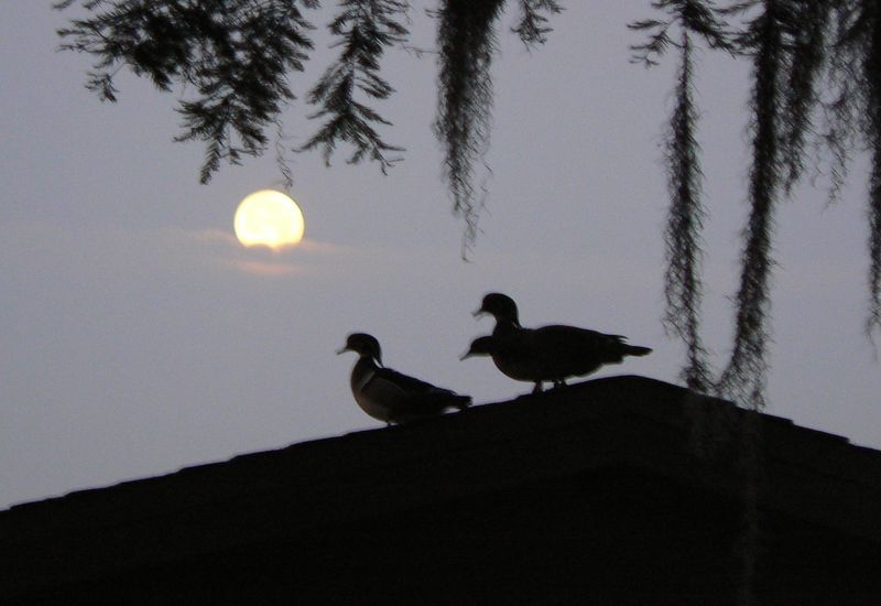 ducks_walkingaround_moonset3april_800.jpg