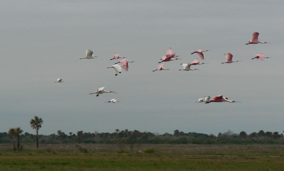 ibis_roseatesflying_refugemerrittisland_9fev_1200.jpg