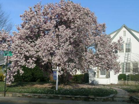 magnolia_spring2006.jpg