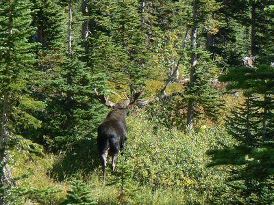 moose_hiking_iceberglake_glacierpark_240.jpg