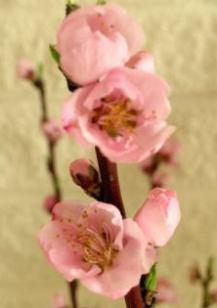 peacheflowerclose.jpg
