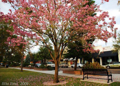 pinktrumpet_centralpark_12feb_02_480.jpg