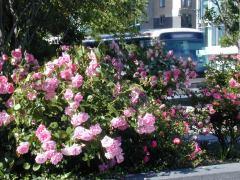 rosasnopark.jpg