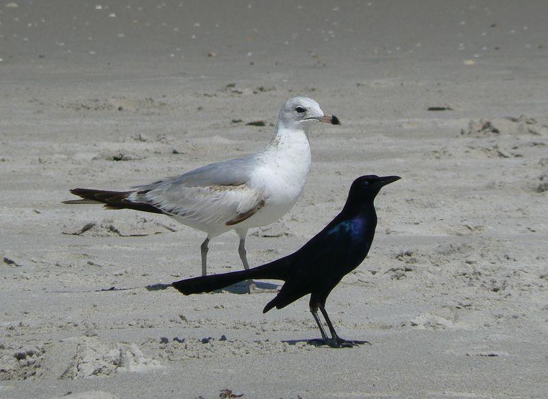 seagull_blackbird_canaveralMerritIsland_800.jpg