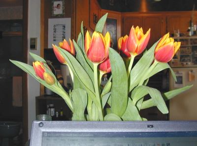 tulipas19march.jpg
