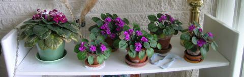 violetasafricanas9outubro.jpg