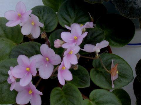 violetspink.jpg