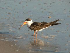 wateringbird_smyrnabeach_2february240.jpg
