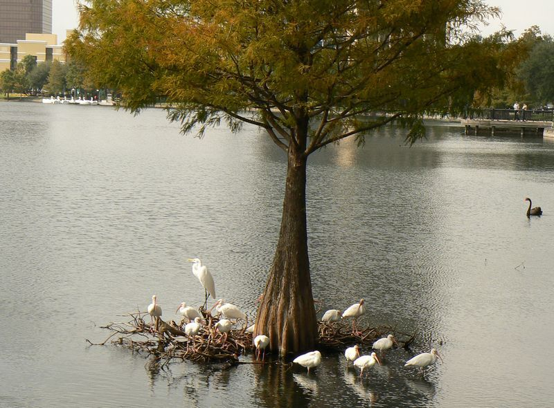 whiteherons_tree.jpg