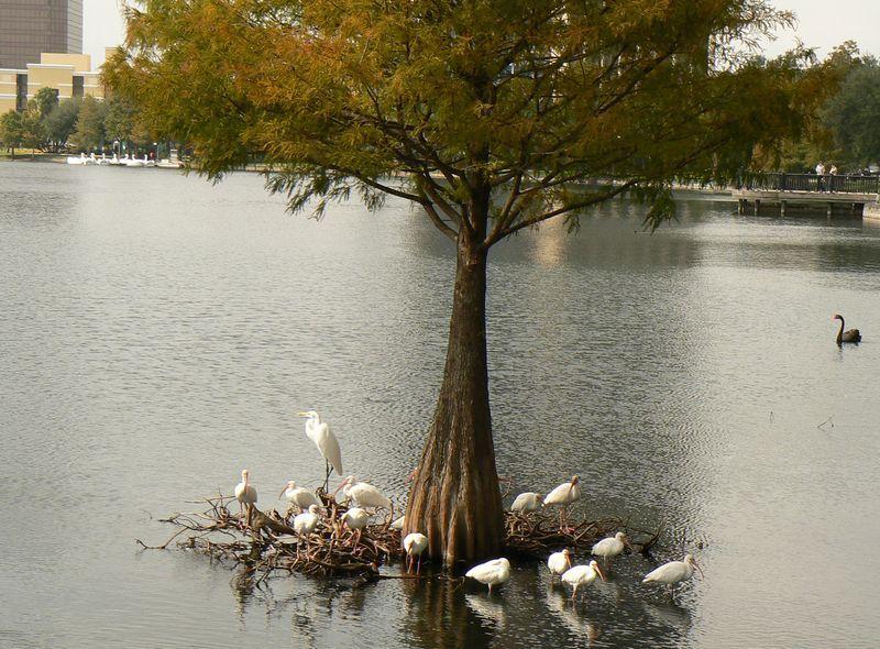 whiteherons_tree.jpg