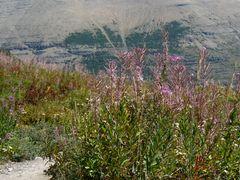 wildflowers_iceberglake_glacierpark_240.jpg