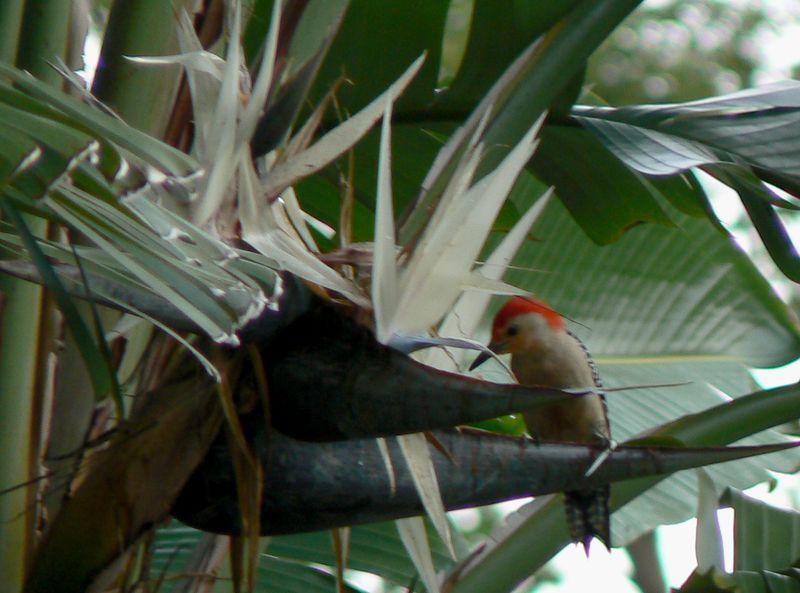 woodpecker_birdofparadise_lakevirginia800.jpg