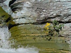 yeallowflowergrowingstone_falls_glacierpark_240.jpg